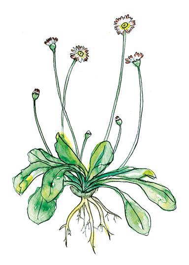 Wildkräuter Illustration – Gänseblümchen